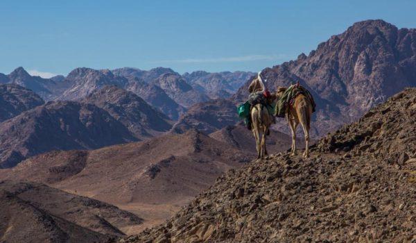 Sinai Trail, Camel On A High Pass Near Mt Sinai